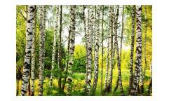 Vliesová fototapeta Březový les 0094
