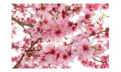 Vliesová fototapeta Květy jabloní 0108