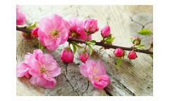 Vliesová fototapeta Sakura 0109