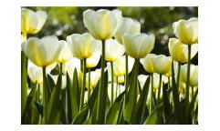 Vliesová fototapeta Bílé tulipány 0127