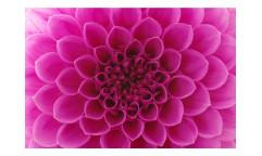 Vliesová fototapeta Růžová jiřina 0132
