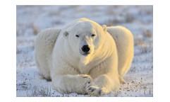 Vliesová fototapeta Lední medvěd 0220