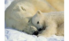 Fototapeta Polar Bears, Lední medvědi 1-605