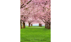 Fototapeta Cherry Trees, Třešeň W+G 385