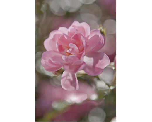 Fototapeta Bouquet, Růžový květ 4-713
