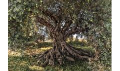 Fototapeta Olive Tree, Olivovník 8-531