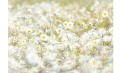 Fototapeta Daisies, Květiny 8-994