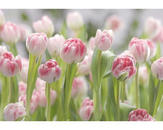 Fototapeta Secret Garden, Tulipány 8-708