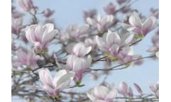 Fototapeta Magnolia, Květ 8-738