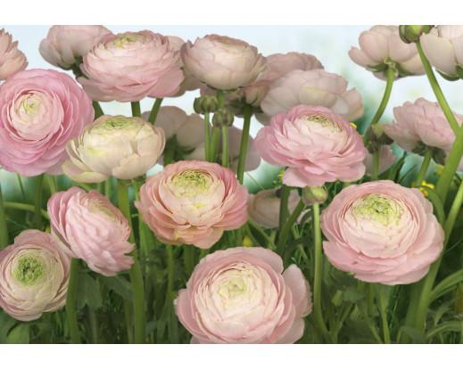 Fototapeta Gentle Rosé, Růžové květy 8-894