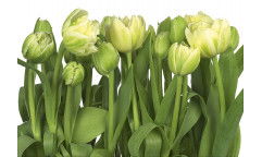Fototapeta Tulips, Tulipány 8-900