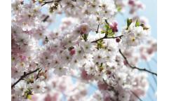 Fototapeta Spring, Třešňové květy 8-507, 8NW-507
