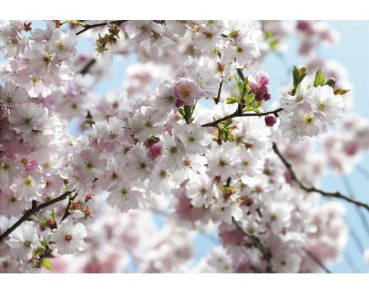 Fototapeta Spring, Třešňové květy 8-507