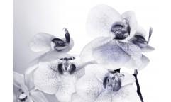 Fototapeta Orchidej FTN 2464