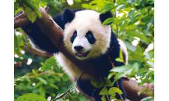Fototapeta Panda velká  FT 0810, FTN 2610