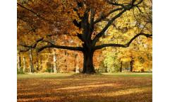 Fototapeta Podzimní strom FTN 2427