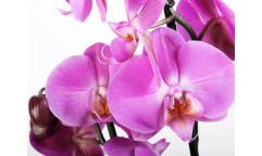 Fototapeta Květ, Orchidea FTN 2459