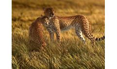 Fototapeta Gepard FTN 0420