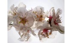 Fototapeta Třešňový květ FTN 0385