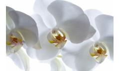 Fototapeta Květ, Orchidea FT 0190, FTN 0466