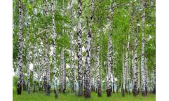 Fototapeta Březový les FT 1304, FTN 2448