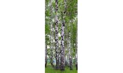 Fototapeta Březový les FTN 2896
