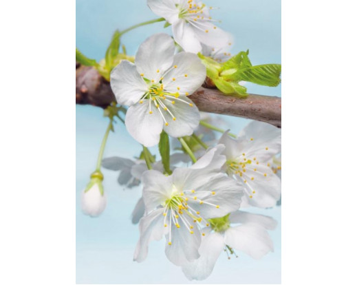 Fototapeta Blossom, Květ XXL2-033