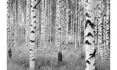 Fototapeta Woods, Březový les XXL4-023
