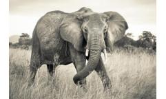 Fototapeta Elephant, Slon XXL4-529