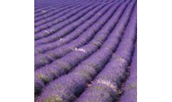 Samolepicí fototapeta na podlahu Lavender field, Levandulové pole