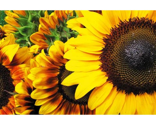 Samolepicí fototapeta na podlahu Sunflowers, Slunečnice