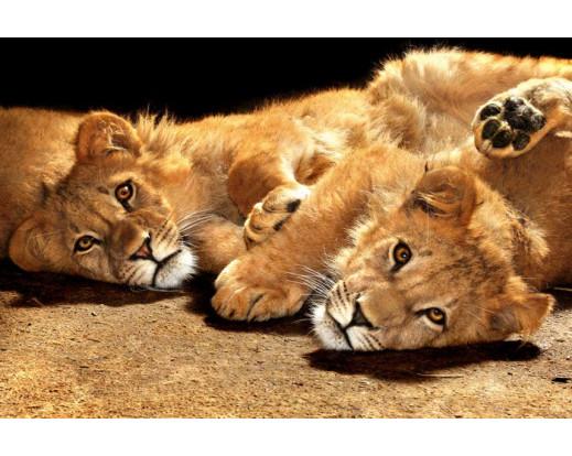 Samolepicí fototapeta na podlahu Young Lions, Lvíčata