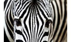 Samolepicí fototapeta na podlahu Zebra