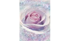 Fototapeta Delicate Rose, Růže XXL2-020